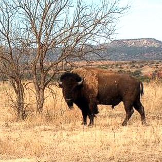 Bison Bull at Caprock Canyons State Park