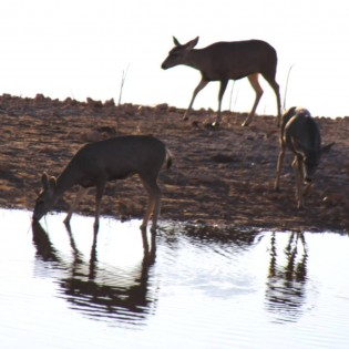Deer Reflections